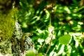 An Iberian Emerald Lizard