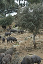 Iberian pigs in the pasture. Stock Images