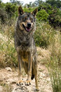 Iberian wolf Stock Photography