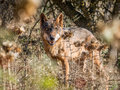 Iberian wolf with beautiful eyes in summer Royalty Free Stock Photo