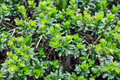 Iberis sempervirens climax green plant Stock Image