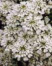 Iberis sempervirens 'Snowflake' Stock Photos