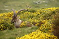 Ibex buck grazin on yellow broom closeup of Royalty Free Stock Photography