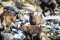 Group of ibex in winter season Royalty Free Stock Photo