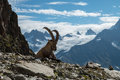 Ibex , French alps Royalty Free Stock Photo
