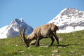 Ibex Grasing With Mountains In Background Stock Photo
