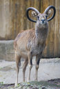 Ibex long horn sheep deer close up portrait Stock Photography