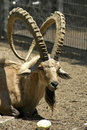 Ibex in reserve park Royalty Free Stock Images