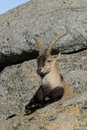 Ibex in the Sierra Stock Image
