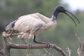 空白IBIS鸟栖息 免版税库存照片