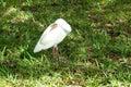 A ibis bird is resting taken in florida Stock Image