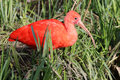 Ibis close up of a red in the grass Stock Photo