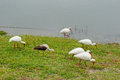 Ibis Are Looking For Food