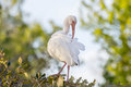 Ibis preening itself a white while perched on a branch Stock Images