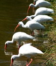 Ibis in a row of white florida Stock Photography