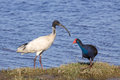Ibis and swamphen an australian white threskiornis moluccus in close company with a purple porphyrio porphyrio at herdsman lake in Royalty Free Stock Images