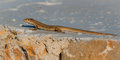 Ibiza wall lizard sunning himself on a painted rock near shore ibiza balearic islands spain one of many of the varying coloured Royalty Free Stock Photo