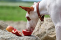 Ibizan Hound dog Stock Photography