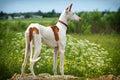 Ibizan Hound dog Royalty Free Stock Photo