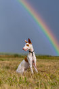 Ibizan hound dog with rainbow Royalty Free Stock Photography
