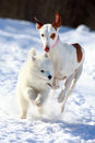 Ibizan hound dog and samoyed puppy Stock Photos