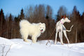 Ibizan hound dog and samoyed puppy Royalty Free Stock Image