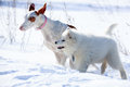 Ibizan hound dog and samoyed puppy Stock Image