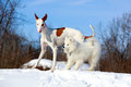 Ibizan hound dog and samoyed puppy Stock Images