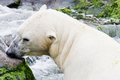 Ice bear in the water Royalty Free Stock Photo
