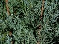 ice blue Juniper Cypress evergreen branch close up detail Royalty Free Stock Photo