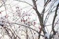 Ice Branches with Briar Stock Photography