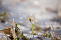 Ice camomile trapped in winter frosts Royalty Free Stock Photo