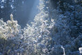 Ice on Conifer Shrubs Stock Photo