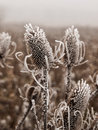Ice covered bull thistle heads on a foggy day Royalty Free Stock Image