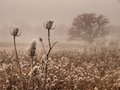 Ice covered bull thistle heads on a foggy day Stock Photos