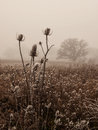 Ice covered bull thistle heads on a foggy day Royalty Free Stock Photos