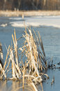 Ice Covered Cattails