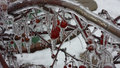 Ice covered crab apples 2 Royalty Free Stock Photo