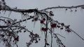 Ice covered crab apples 3 Royalty Free Stock Photo