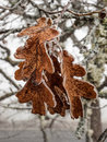 Ice covered oak leaves reddish hang from the branch of a white tree Stock Photo