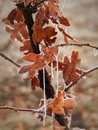 Ice covered oak leaves reddish hang from the branch of a white tree Royalty Free Stock Photos