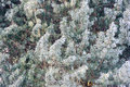 Ice covered pine tree brunches in snowy fores forest winter Stock Images