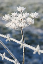 Ice covered plant behind barb wire Stock Photo