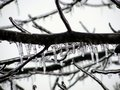 Ice Covered Tree Branch Royalty Free Stock Photo