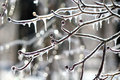 Ice covered tree branches of a dogwood in winter with and icicles Royalty Free Stock Photos