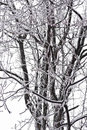 Ice covered walnut tree white encased in and dripping with icicles photographed in northern virginia february Royalty Free Stock Photos