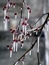 Ice drzewo jabłka Zdjęcie Royalty Free