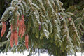 Ice on a pine tree at park in kent county michigan Stock Photo