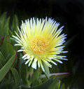 Ice plant close up of yellow flowering Royalty Free Stock Photo