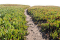 Ice Plant Field with Dirt Pathway Royalty Free Stock Photo